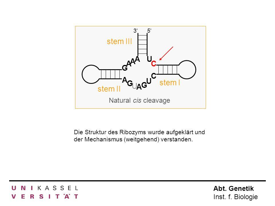 Abt. Genetik Inst. f. Biologie A A A A A G G G U U U C C 3'5' stem III stem I stem II Natural cis cleavage Die Struktur des Ribozyms wurde aufgeklärt