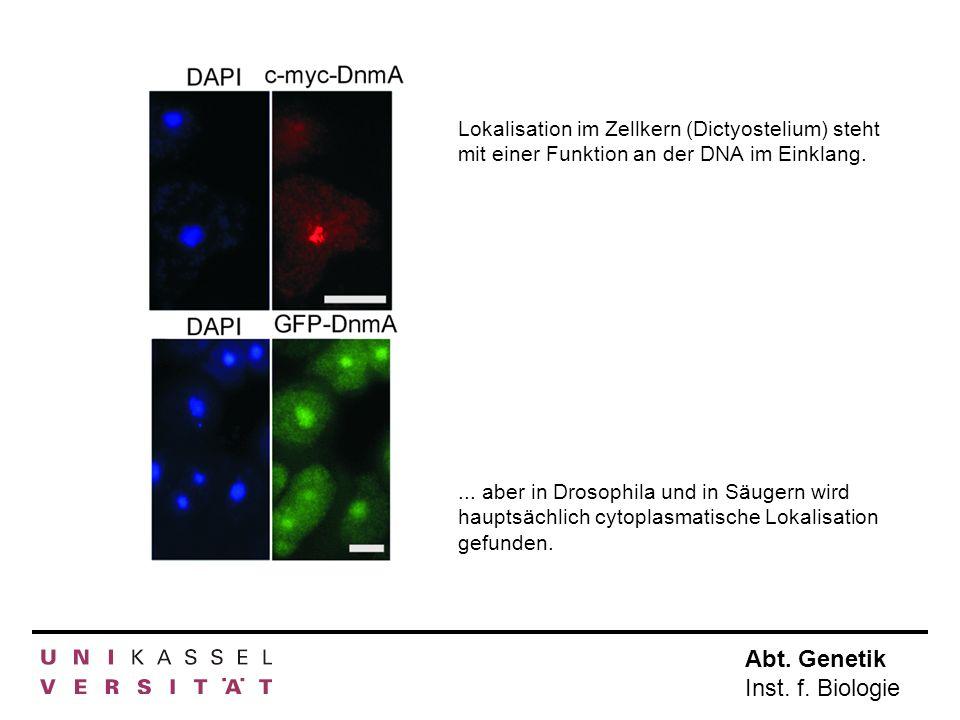 Abt. Genetik Inst. f. Biologie Lokalisation im Zellkern (Dictyostelium) steht mit einer Funktion an der DNA im Einklang.... aber in Drosophila und in