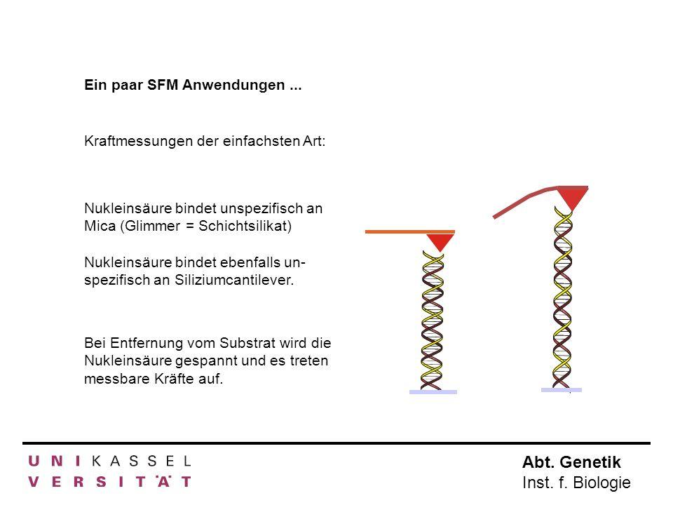 Abt. Genetik Inst. f. Biologie Ein paar SFM Anwendungen... Kraftmessungen der einfachsten Art: Nukleinsäure bindet unspezifisch an Mica (Glimmer = Sch