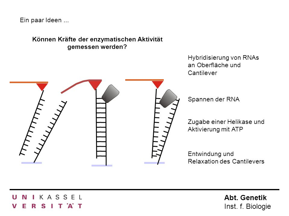Abt. Genetik Inst. f. Biologie Ein paar Ideen... Können Kräfte der enzymatischen Aktivität gemessen werden? Hybridisierung von RNAs an Oberfläche und