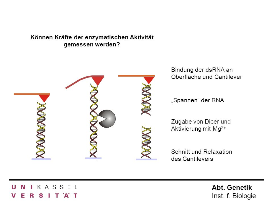 Abt. Genetik Inst. f. Biologie Bindung der dsRNA an Oberfläche und Cantilever Spannen der RNA Zugabe von Dicer und Aktivierung mit Mg 2+ Schnitt und R