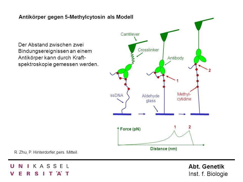 Abt. Genetik Inst. f. Biologie Antikörper gegen 5-Methylcytosin als Modell 1 2 Cantilever Crosslinker Antibody ssDNA Methyl- cytidine Aldehyde glass F