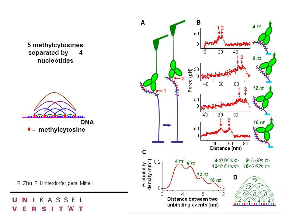 Abt. Genetik Inst. f. Biologie R. Zhu, P. Hinterdorfer, pers. Mitteil. 5 methylcytosines separated by 4 nucleotides DNA - methylcytosine