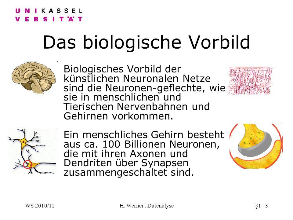WS 2010/11H. Werner : Datenalyse§1 : 3 Das biologische Vorbild Biologisches Vorbild der künstlichen Neuronalen Netze sind die Neuronen-geflechte, wie