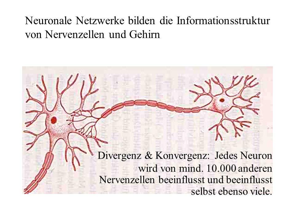 Neuronale Netzwerke bilden die Informationsstruktur von Nervenzellen und Gehirn Divergenz & Konvergenz: Jedes Neuron wird von mind. 10.000 anderen Ner