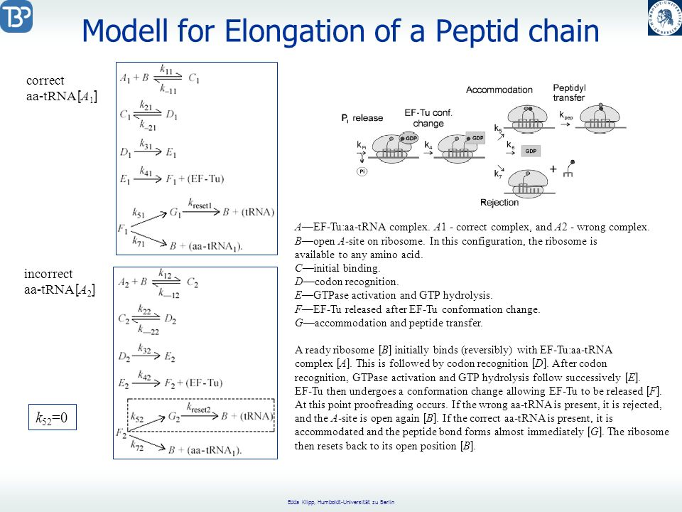 Edda Klipp, Humboldt-Universität zu Berlin Modell for Elongation of a Peptid chain AEF-Tu:aa-tRNA complex. A1 - correct complex, and A2 - wrong comple