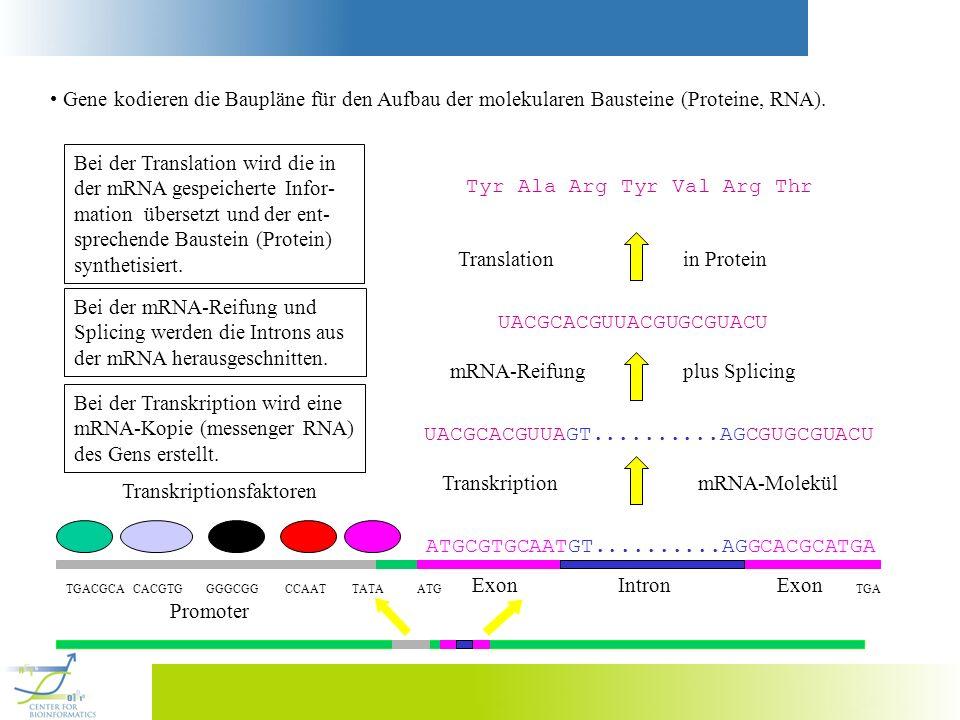 Gene kodieren die Baupläne für den Aufbau der molekularen Bausteine (Proteine, RNA). Transkriptionsfaktoren ATGCGTGCAATGT..........AGGCACGCATGA TGACGC