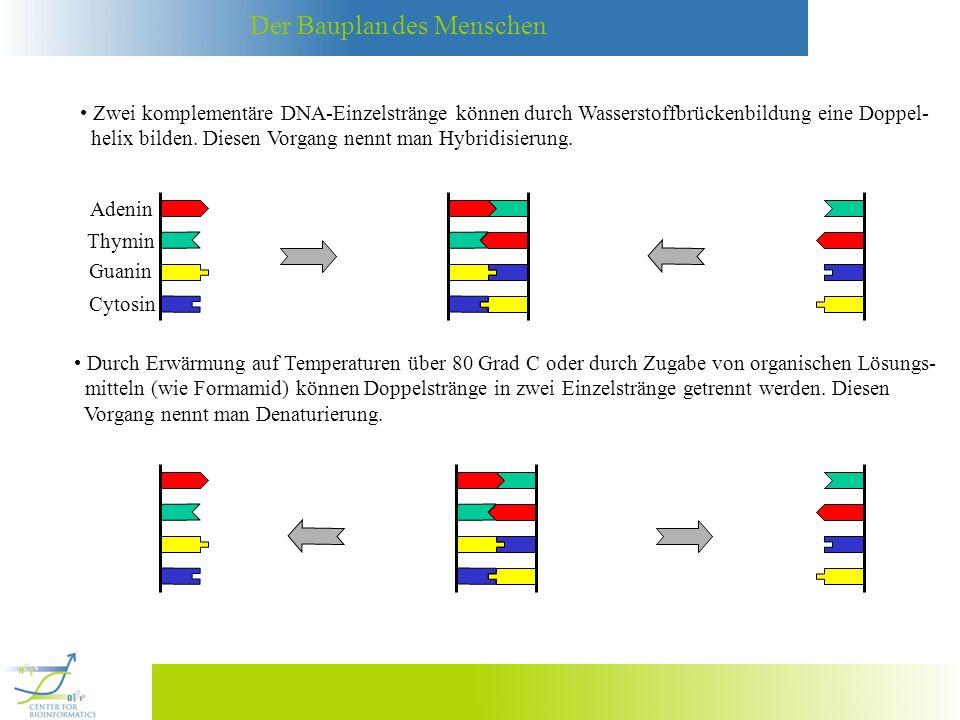 Der Bauplan des Menschen Bestimmte DNA-Muster in Chromosomen oder mRNA kann man wie folgt nachweisen: (1) Wohldefinierte DNA-Moleküle (Folgen von Basen) werden mit einer Oberfläche verlinkt: (2) Die DNA-Moleküle, in denen man diese Basenfolge nachweisen möchte, werden mit einem Fluoreszenzfarbstoff markiert, der durch eine geeignete Lichtquelle zur Fluoreszenz angeregt wird.