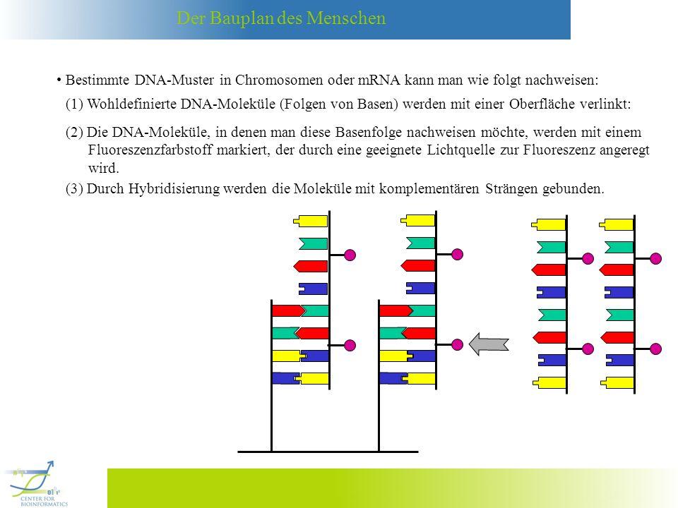 Der Bauplan des Menschen Bestimmte DNA-Muster in Chromosomen oder mRNA kann man wie folgt nachweisen: (1) Wohldefinierte DNA-Moleküle (Folgen von Base