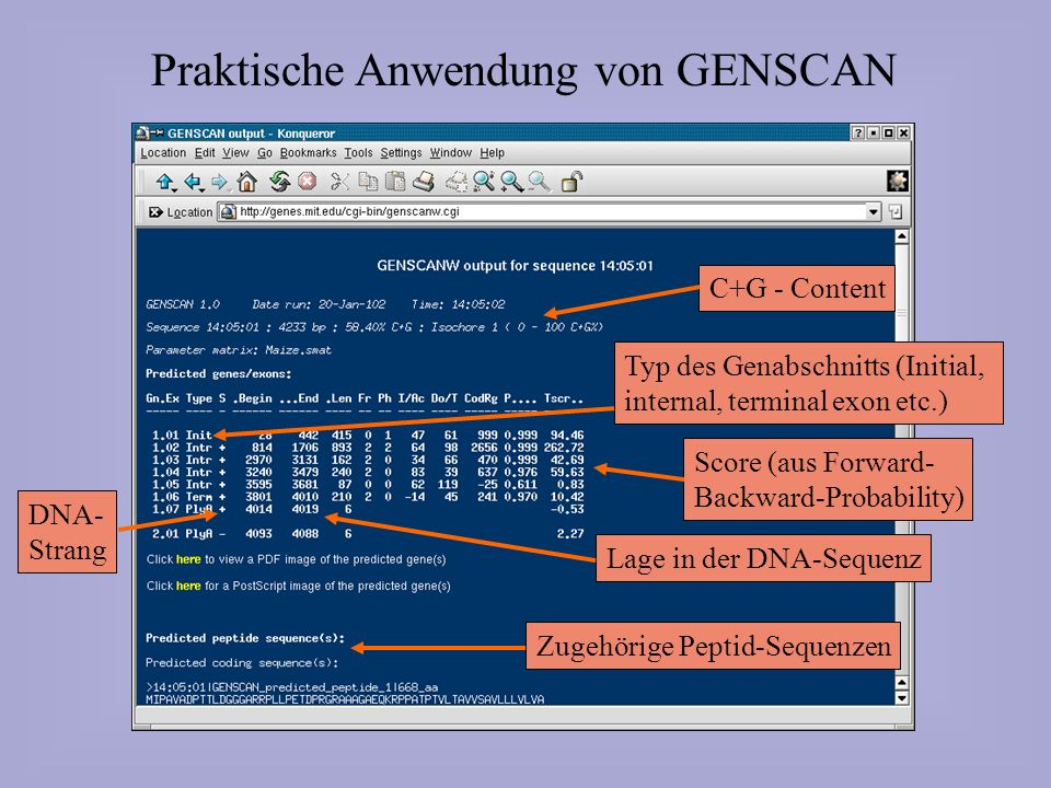 Praktische Anwendung von GENSCAN C+G - ContentZugehörige Peptid-SequenzenScore (aus Forward- Backward-Probability) Lage in der DNA-Sequenz Typ des Gen