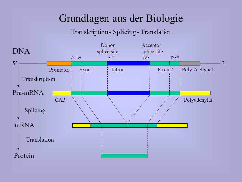 Grundlagen aus der Biologie Transkription - Splicing - Translation DNA Promoter Exon 1IntronExon 2Poly-A-Signal ATGTGAGT AG CAPPolyadenylat Prä-mRNA Transkription 5´3´ mRNA Splicing Protein Translation Donor splice site Acceptor splice site