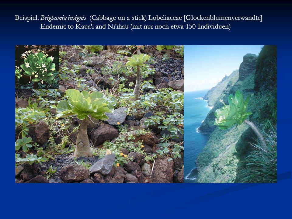 Beispiel: Brighamia insignis (Cabbage on a stick) Lobeliaceae [Glockenblumenverwandte] Endemic to Kaua'i and Ni'ihau (mit nur noch etwa 150 Individuen