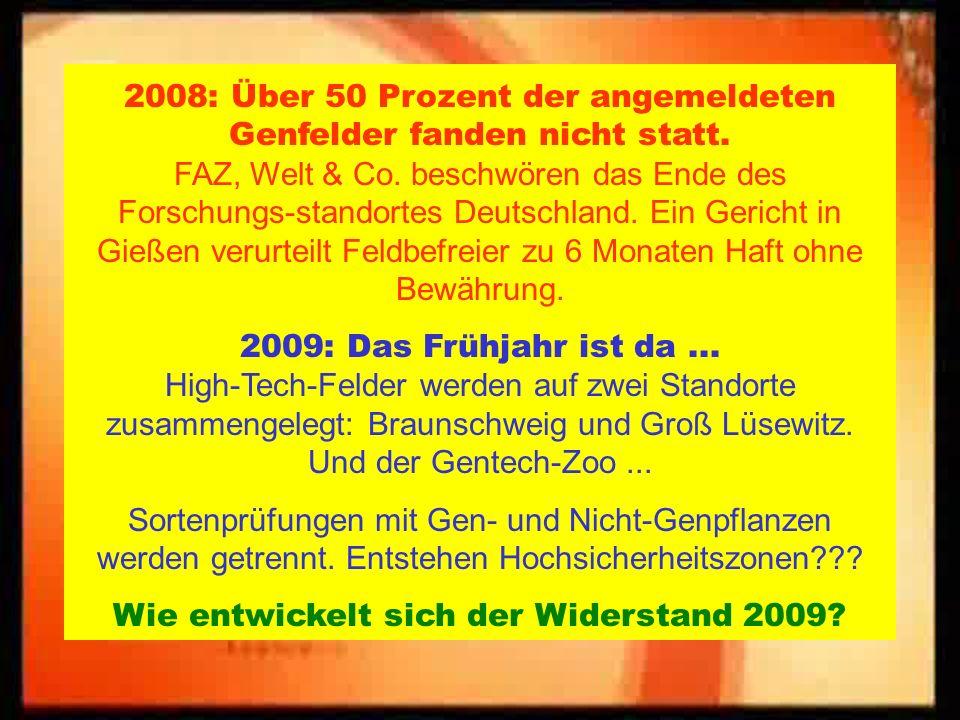 Maisfeld in Laase (Wendland) 2008, die Neunte:
