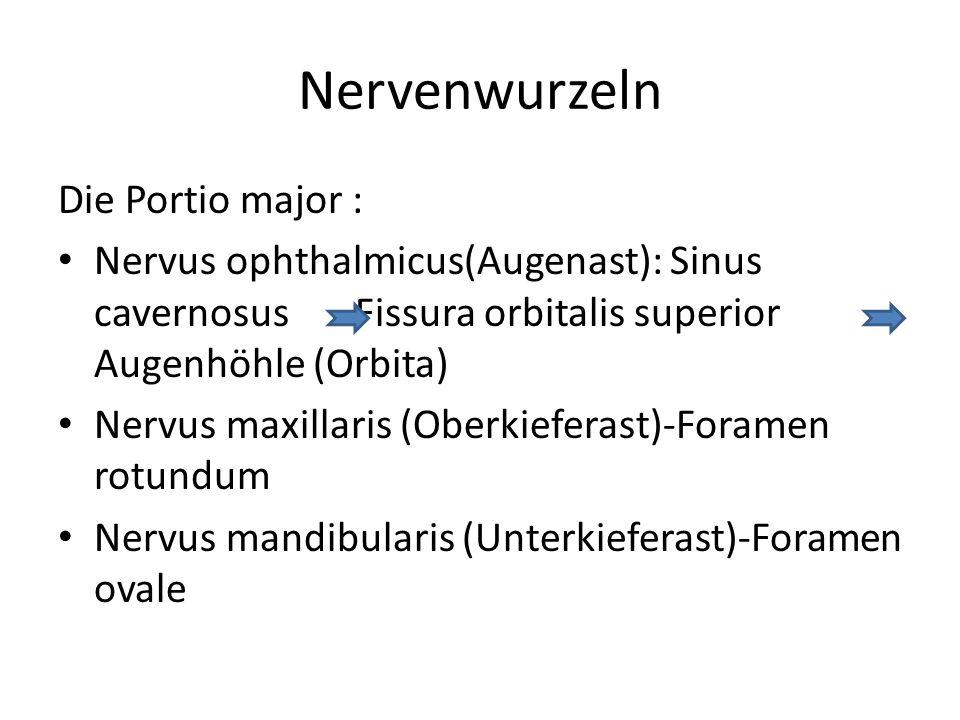 Nervenwurzeln Die Portio major : Nervus ophthalmicus(Augenast): Sinus cavernosus Fissura orbitalis superior Augenhöhle (Orbita) Nervus maxillaris (Obe
