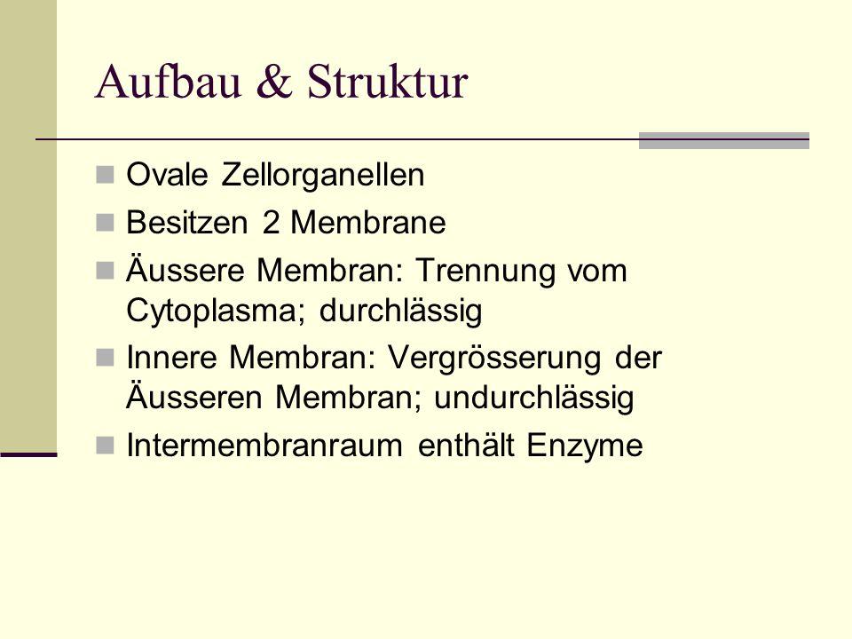 Aufbau & Struktur Ovale Zellorganellen Besitzen 2 Membrane Äussere Membran: Trennung vom Cytoplasma; durchlässig Innere Membran: Vergrösserung der Äus