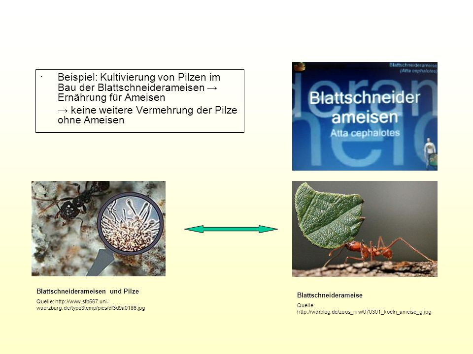 Beispiel: Kultivierung von Pilzen im Bau der Blattschneiderameisen Ernährung für Ameisen keine weitere Vermehrung der Pilze ohne Ameisen Blattschneide