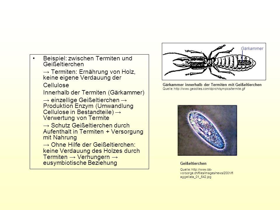 Beispiel: zwischen Termiten und Geißeltierchen Termiten: Ernährung von Holz, keine eigene Verdauung der Cellulose Innerhalb der Termiten (Gärkammer) e