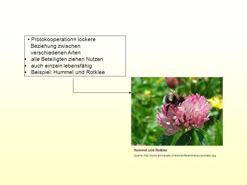 Hummel und Rotklee Quelle: http://www.emmeweb.ch/emmeinfo/emmetour/pic/natur.jpg Protokooperation= lockere Beziehung zwischen verschiedenen Arten alle