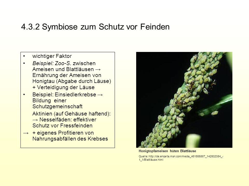 4.3.2 Symbiose zum Schutz vor Feinden wichtiger Faktor Beispiel: Zoo-S. zwischen Ameisen und Blattläusen Ernährung der Ameisen von Honigtau (Abgabe du