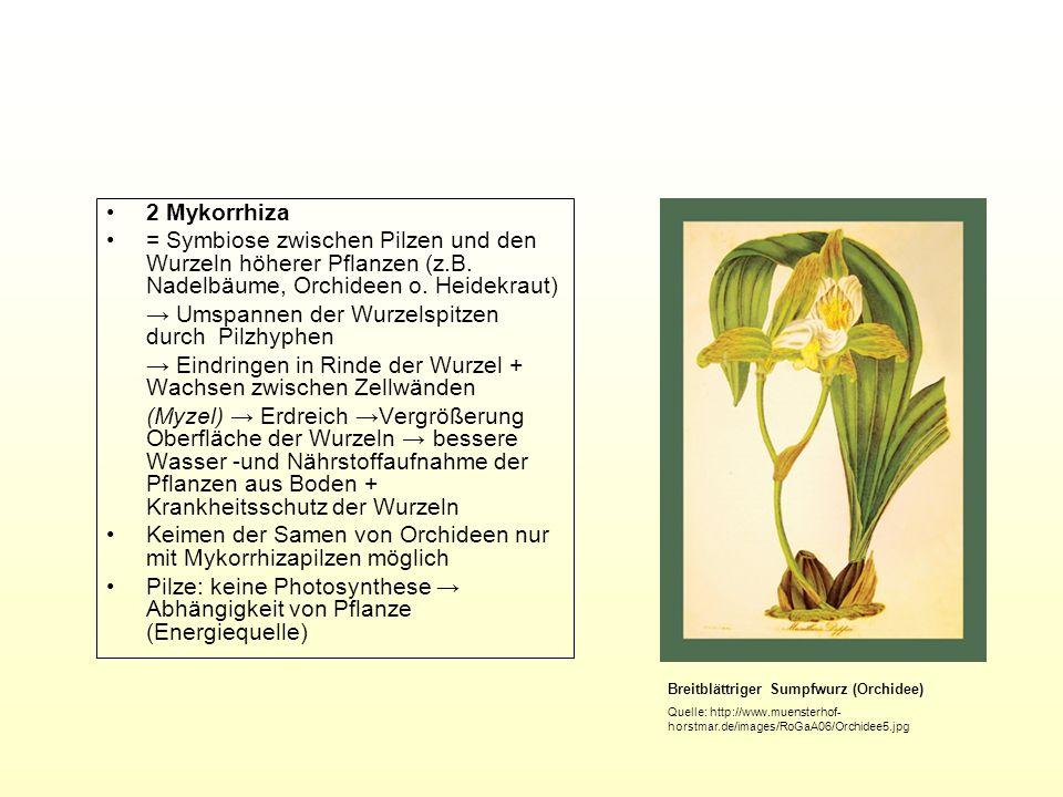 2 Mykorrhiza = Symbiose zwischen Pilzen und den Wurzeln höherer Pflanzen (z.B. Nadelbäume, Orchideen o. Heidekraut) Umspannen der Wurzelspitzen durch