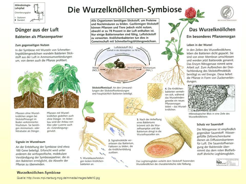 Wurzelknöllchen-Symbiose Quelle: http://www.mpi-marburg.mpg.de/mmedia/images/tafel10.jpg