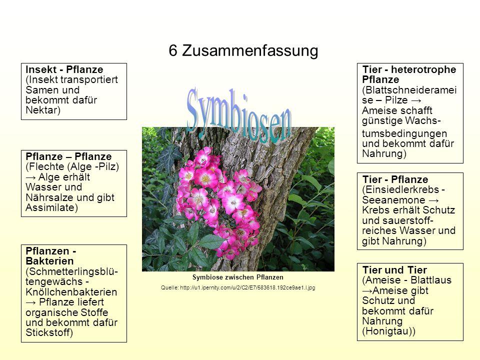 6 Zusammenfassung Tier und Tier (Ameise - BlattlausAmeise gibt Schutz und bekommt dafür Nahrung (Honigtau)) Tier - Pflanze (Einsiedlerkrebs - Seeanemo
