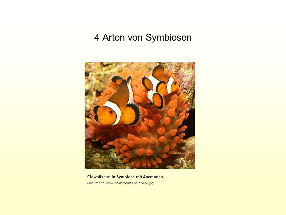 4 Arten von Symbiosen Clownfische in Symbiose mit Anemonen Quelle: http://www.scalare-fulda.de/nemo2.jpg