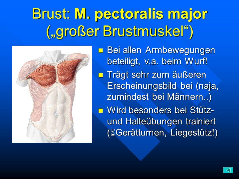 Brust: M. pectoralis major (großer Brustmuskel) Bei allen Armbewegungen beteiligt, v.a. beim Wurf! Trägt sehr zum äußeren Erscheinungsbild bei (naja,