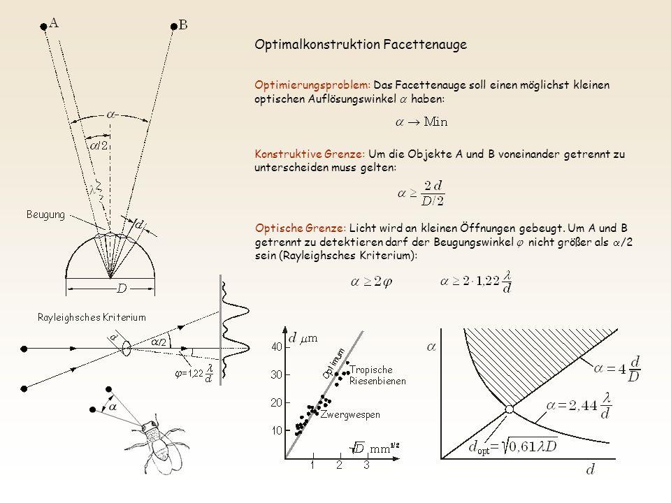 Optimierungsproblem: Das Facettenauge soll einen möglichst kleinen optischen Auflösungswinkel haben: Konstruktive Grenze: Um die Objekte A und B voneinander getrennt zu unterscheiden muss gelten: Optische Grenze: Licht wird an kleinen Öffnungen gebeugt.