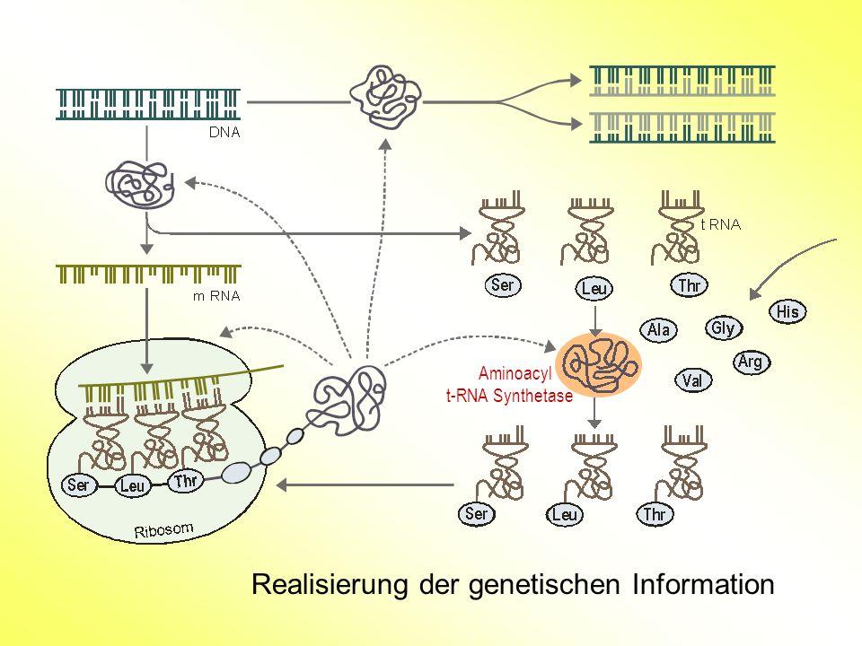 Realisierung der genetischen Information Aminoacyl t-RNA Synthetase