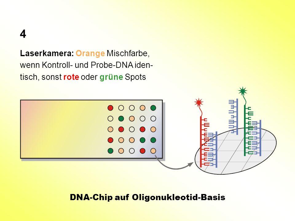 Laserkamera: Orange Mischfarbe, wenn Kontroll- und Probe-DNA iden- tisch, sonst rote oder grüne Spots DNA-Chip auf Oligonukleotid-Basis 4