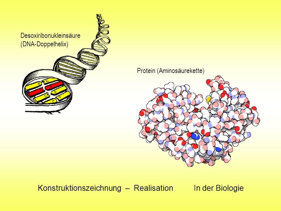 Konstruktionszeichnung – Realisation In der Biologie Desoxiribonukleinsäure (DNA-Doppelhelix) Protein (Aminosäurekette)