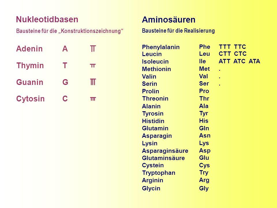 Nukleotidbasen Adenin Thymin Guanin Cytosin A T G C Bausteine für die Konstruktionszeichnung Aminosäuren Phenylalanin Leucin Isoleucin Methionin Valin