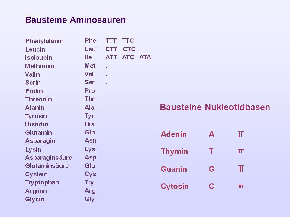 Bausteine Aminosäuren Bausteine Nukleotidbasen