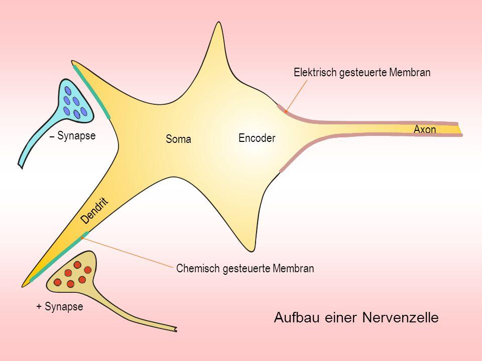 Synaptische Bläschen Axon Synaptischer Spalt Postsynaptische Membran Präsynaptisches Gitter Synapse Na -Tor +