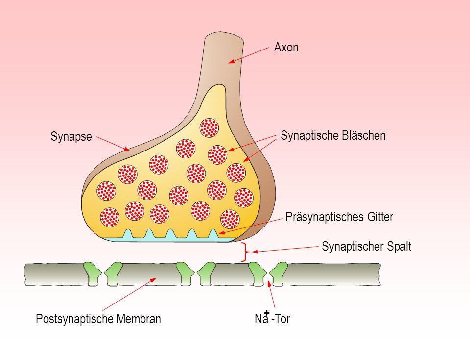 Zündschnur Dominosteine Analogien zur Impulsfortleitung in einer Nervenfaser