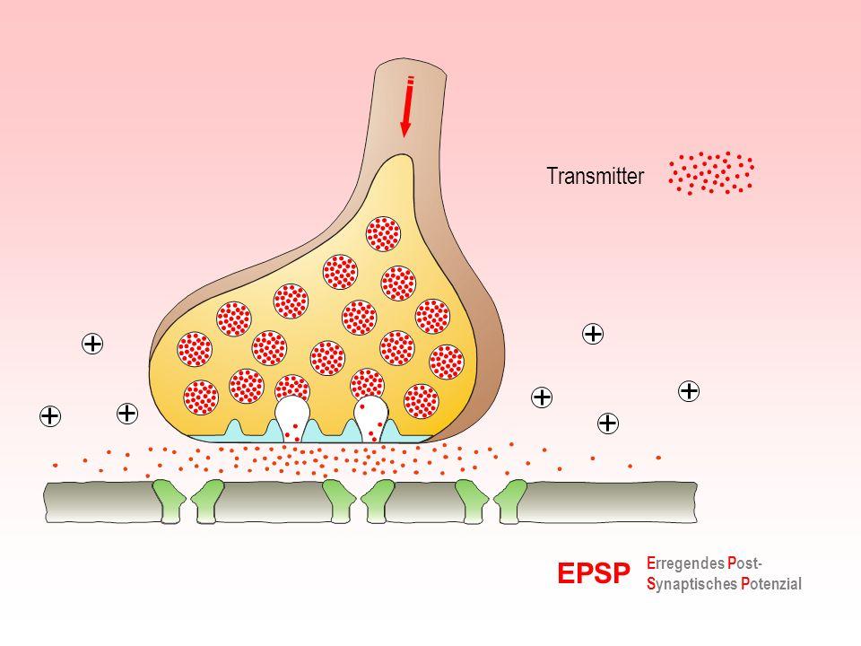 Die Größe der Synapse bestimmt die Zeitkonstante (für zeitliche Summation) Die Entfernung der Synapse vom Axonhügel bestimmt die Potenzialhöhe (für räumliche Summation) Evolutionsfähigkeit eines Neuronennetzwerkes