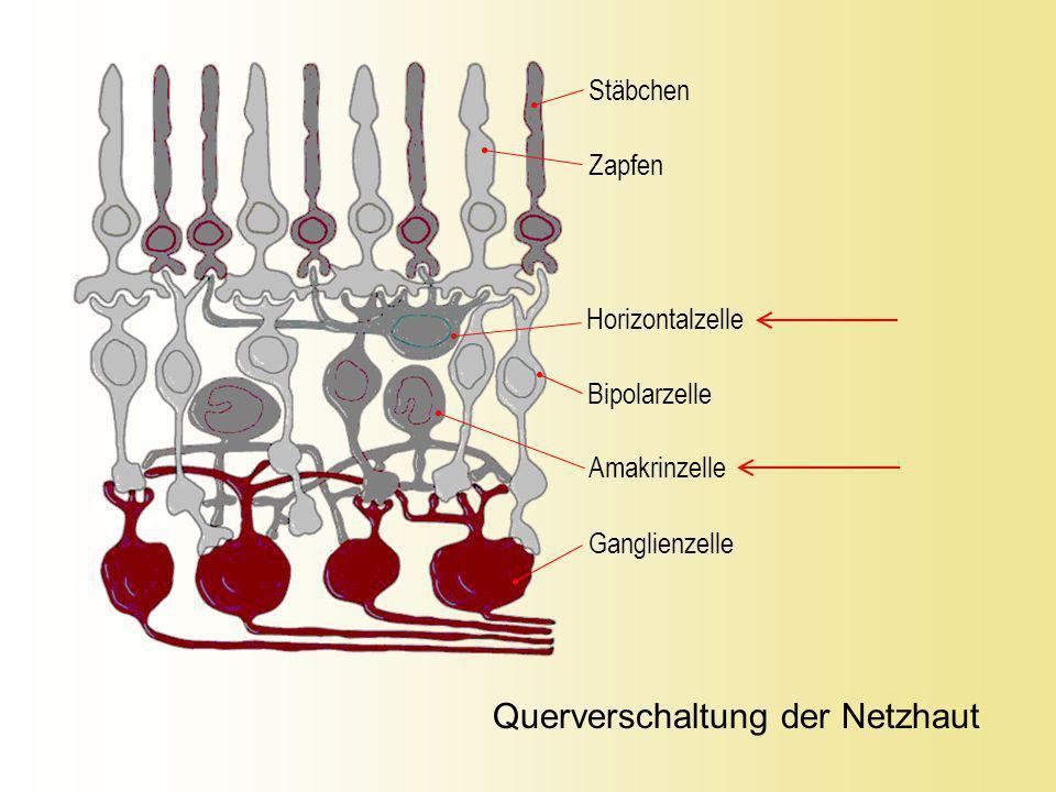 Licht Zentrum OFF-Bipolare ON-Bipolare OFF- Ganglienzelle ON- Ganglienzelle Zapfen Elementare Sehzellenverschaltung – ON / OFF-Antworten