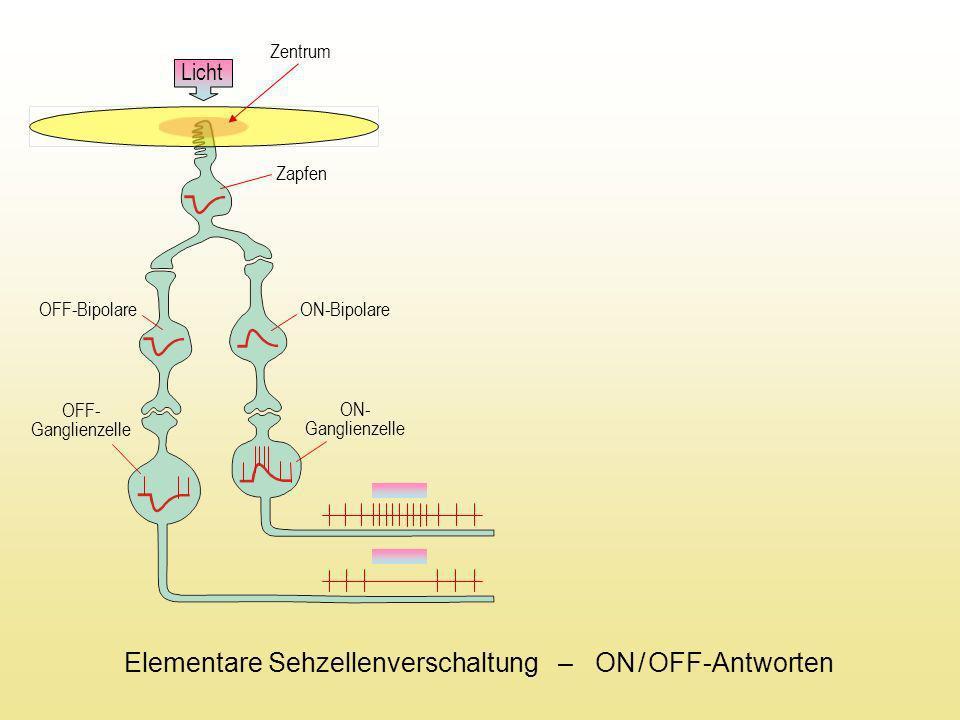 Licht Zentrum Licht Horizontalzelle ON-Bipolare OFF-Bipolare OFF- Ganglienzelle ON- Ganglienzelle Peripherie OFF-Bipolare ON-Bipolare OFF- Ganglienzelle ON- Ganglienzelle Zapfen Elementare Sehzellenverschaltung – ON / Off-Antworten