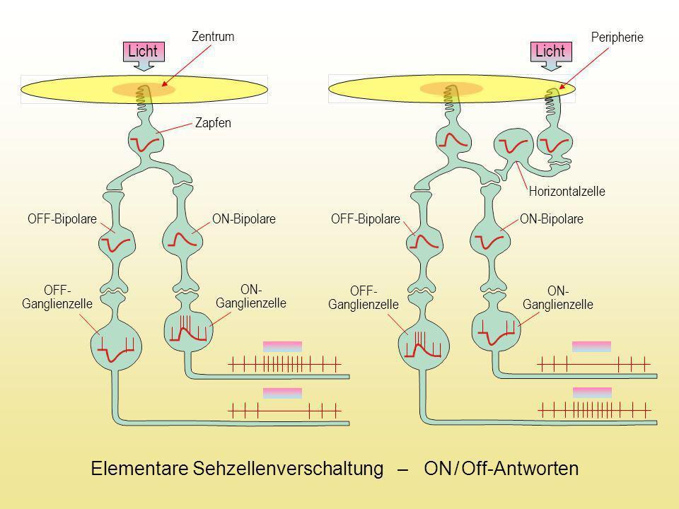 Licht Zentrum Licht Horizontalzelle ON-Bipolare OFF-Bipolare OFF- Ganglienzelle ON- Ganglienzelle Peripherie OFF-Bipolare ON-Bipolare OFF- Ganglienzel