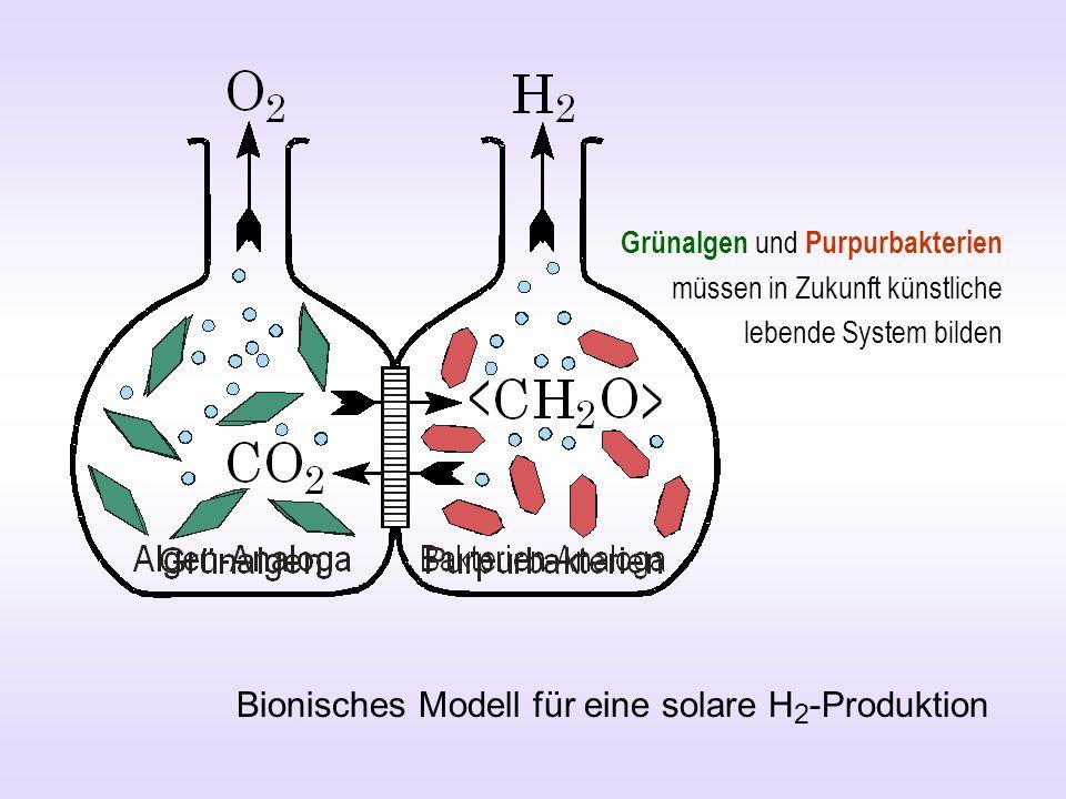 Bionisches Modell für eine solare H 2 -Produktion Grünalgen und Purpurbakterien müssen in Zukunft künstliche lebende System bilden