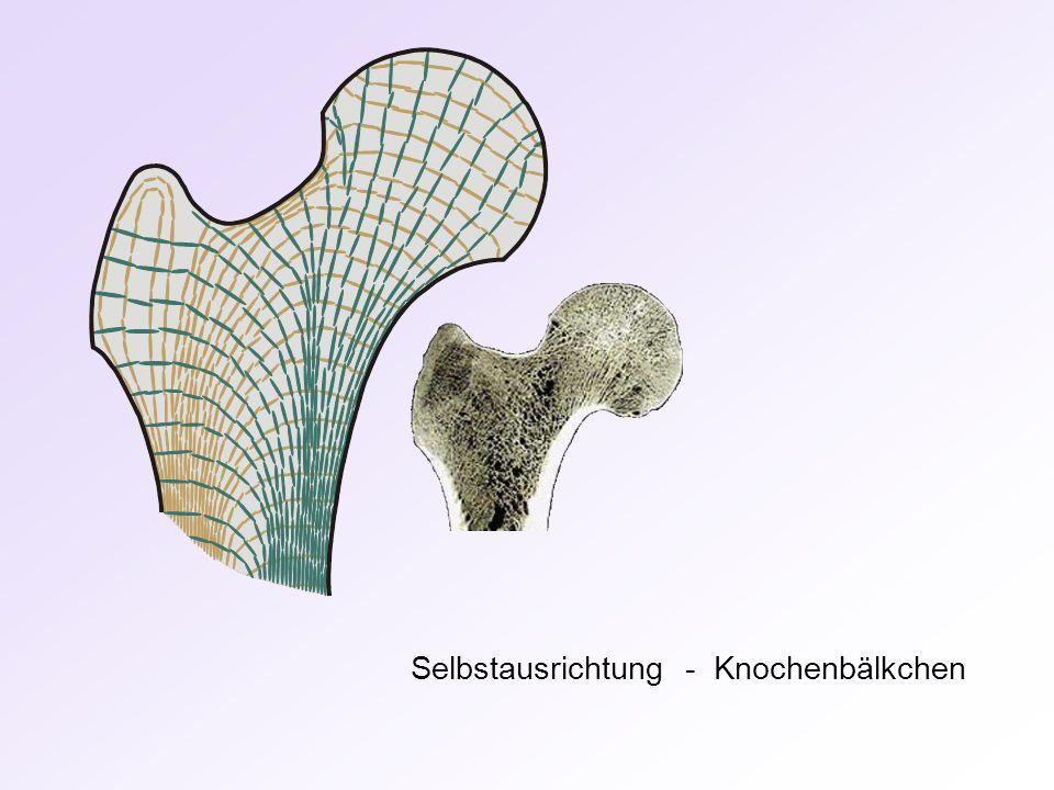 Selbstausrichtung - Knochenbälkchen