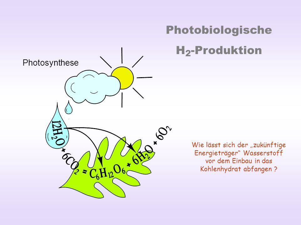 Photobiologische H 2 -Produktion Photosynthese Wie lässt sich der zukünftige Energieträger Wasserstoff vor dem Einbau in das Kohlenhydrat abfangen ?