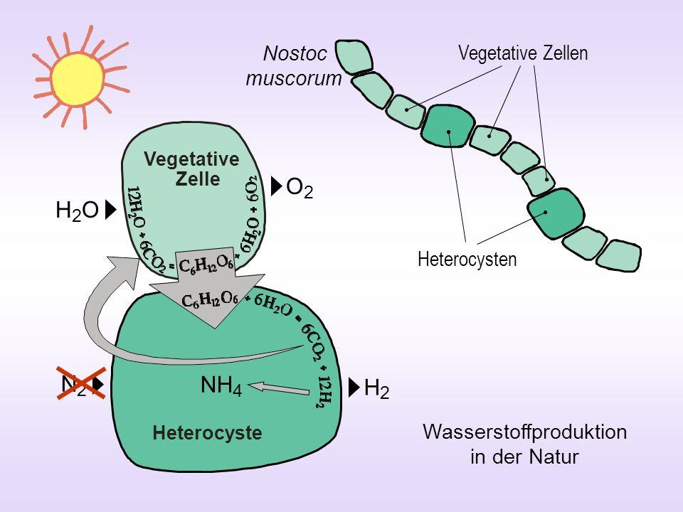 Heterocysten Vegetative Zellen Nostoc muscorum Wasserstoffproduktion in der Natur O2O2 H2OH2O NH 4 N2N2 H2H2