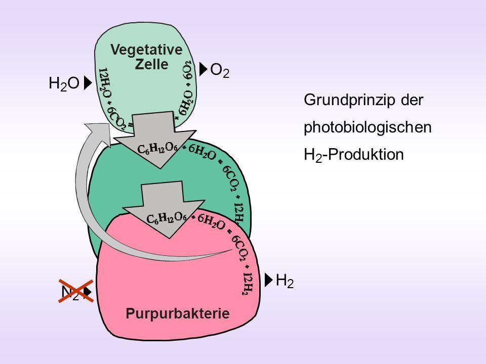 Vegetative Zelle Heterocyste H2OH2O O2O2 N2N2 H2H2 Grundprinzip der photobiologischen H 2 -Produktion Purpurbakterie