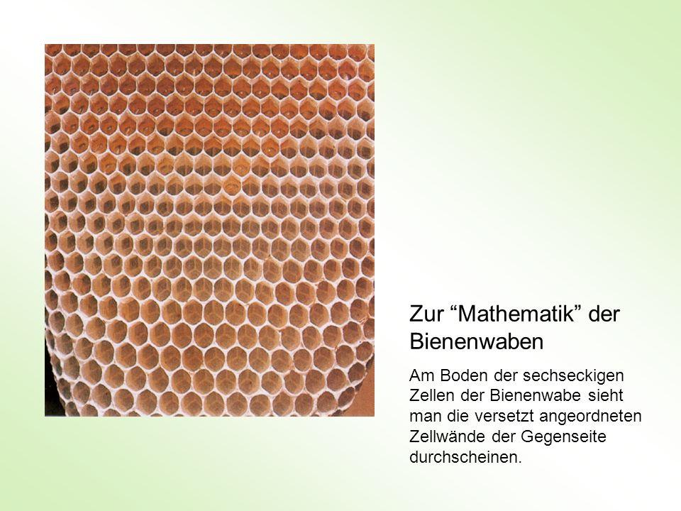 Zur Mathematik der Bienenwaben Am Boden der sechseckigen Zellen der Bienenwabe sieht man die versetzt angeordneten Zellwände der Gegenseite durchschei