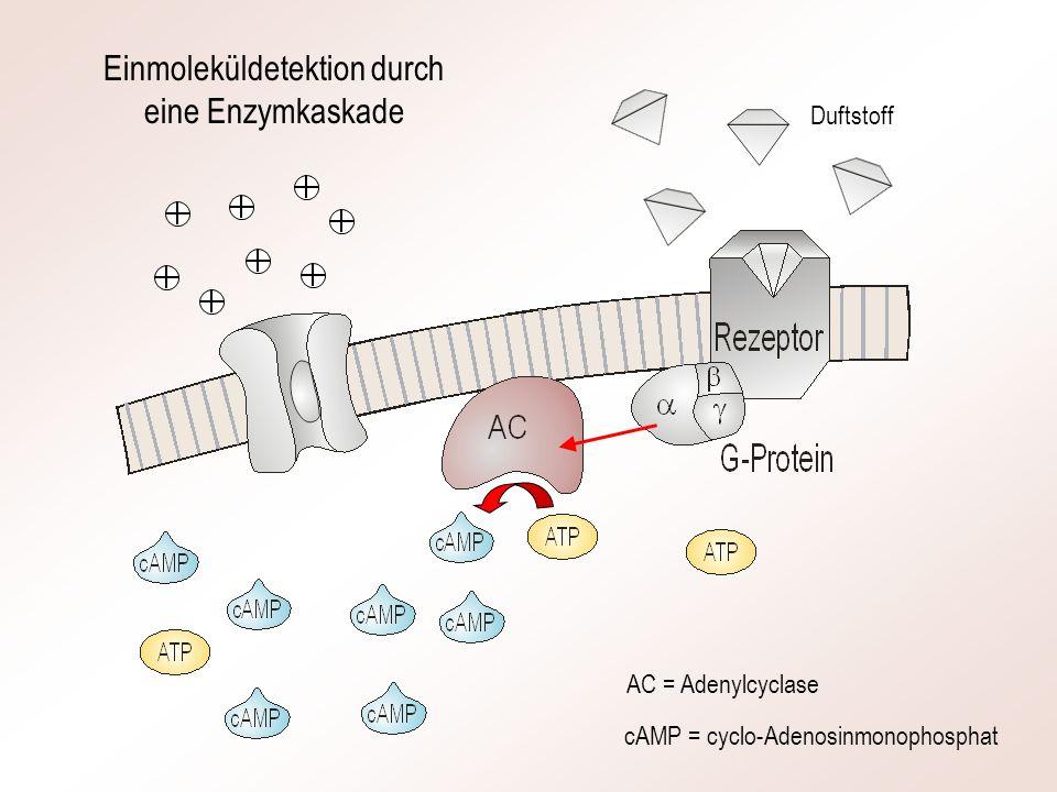 AC = Adenylcyclase cAMP = cyclo-Adenosinmonophosphat Einmoleküldetektion durch eine Enzymkaskade Duftstoff