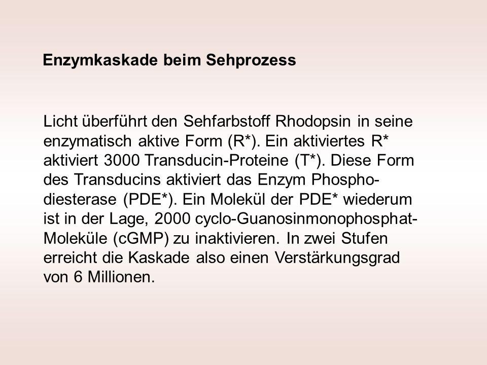 Licht überführt den Sehfarbstoff Rhodopsin in seine enzymatisch aktive Form (R*). Ein aktiviertes R* aktiviert 3000 Transducin-Proteine (T*). Diese Fo