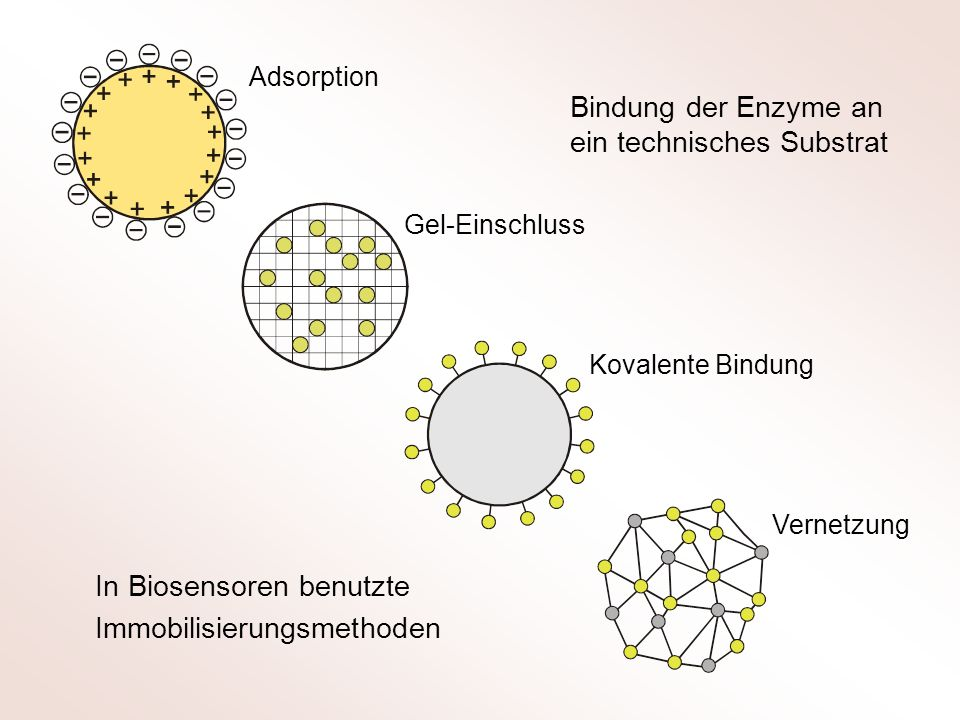 Adsorption Gel-Einschluss Kovalente Bindung Vernetzung In Biosensoren benutzte Immobilisierungsmethoden Bindung der Enzyme an ein technisches Substrat