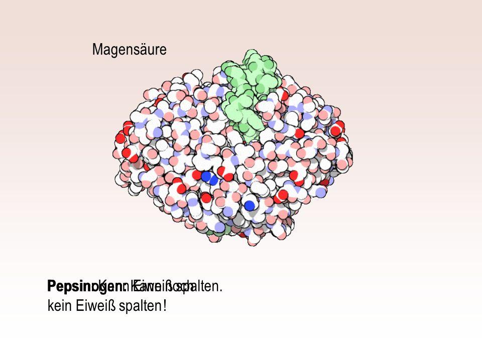 Pepsinogen: Kann noch kein Eiweiß spalten ! Magensäure Pepsin: Kann Eiweiß spalten.